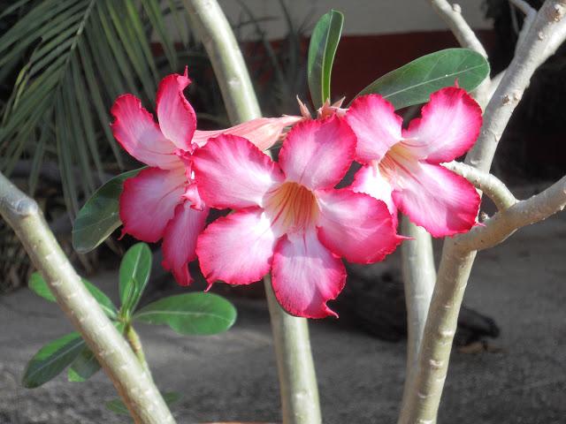 a bloem woestijnroos ws