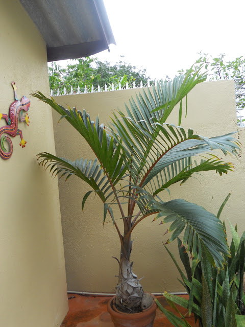 a palm in pot ws