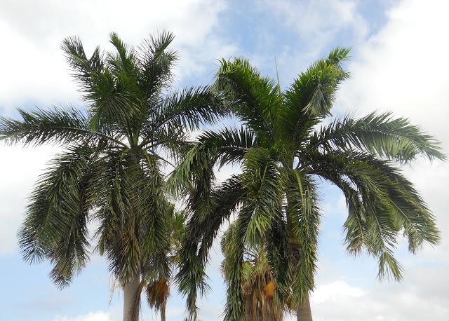 a palmbomen kruinen 1 ws